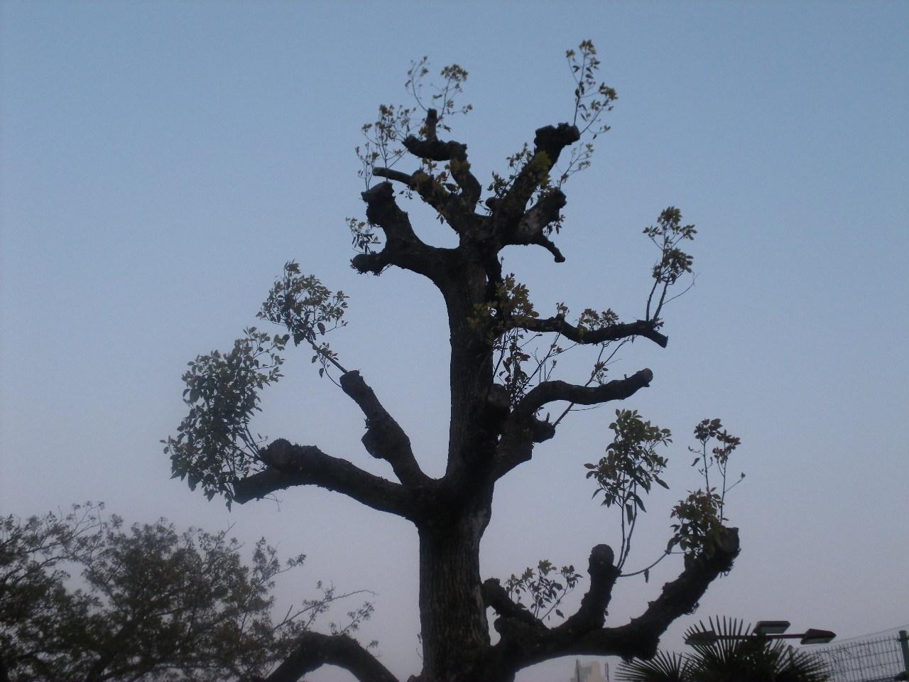 「バウバウ」の木のように